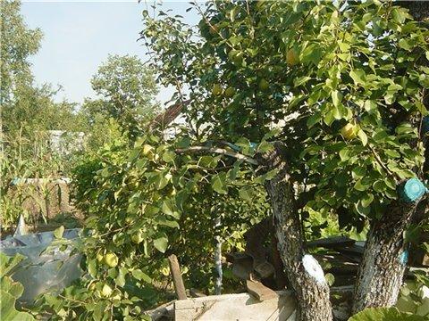 Плодовые деревья, ягодные кустарники - Страница 4 32da7257ef73t