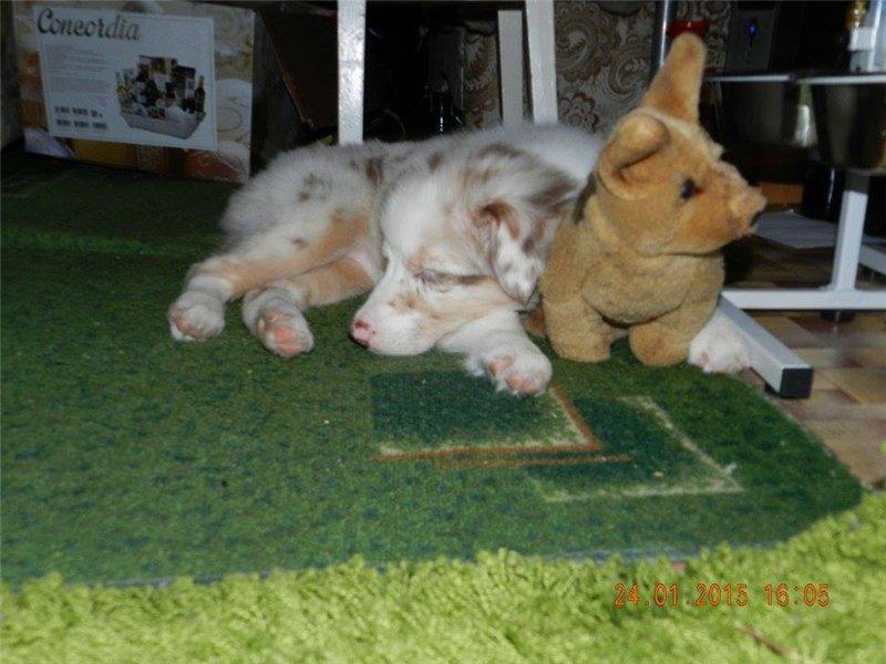 "Питомник ""Aurum Dog"" - Страница 3 A3b9a4c38e88"