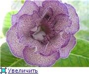 Семена глоксиний и стрептокарпусов почтой - Страница 10 23ed2e7331fe