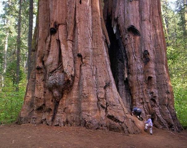 Это интересно: самое большое дерево B712d11bb75d