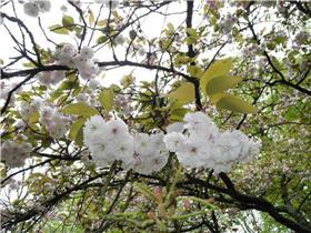 Рай тюльпанов или Кёкнхов - 2012 7d89adbd3e5ct