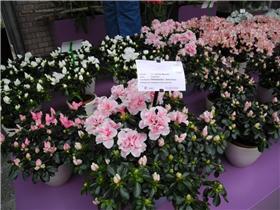 Рай тюльпанов или Кёкнхов - 2012 B03d8e391685t