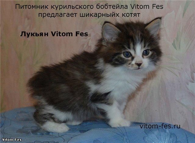 Котята Курильского бобтейла Cae513d3928b
