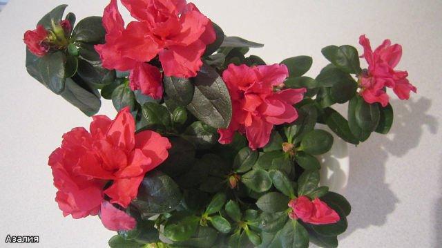 Мои цветулечки - Страница 20 Aa940b7962ec
