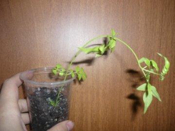 декоротивно-лиственные и красивоцветущие растения - Страница 4 Ff6cbcbd3a4c
