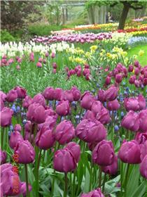 Рай тюльпанов или Кёкнхов - 2012 A0234eae285dt