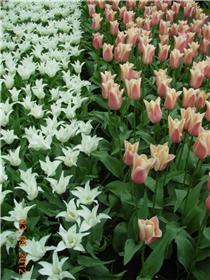 Рай тюльпанов или Кёкнхов - 2012 150f42aa7ecdt