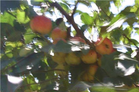 Яблоня: сорта и агротехника. - Страница 4 2b9e4c73a61et