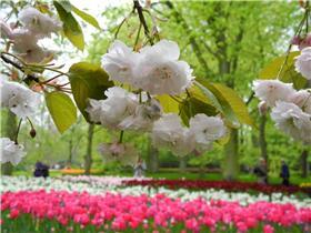 Рай тюльпанов или Кёкнхов - 2012 47dfb990a9ect