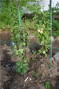 Яблоня: сорта и агротехника. - Страница 8 6b62008a1a8bt