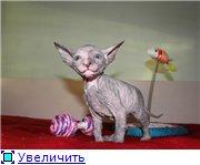 Донские сфинксы 5ccb0032d26ft
