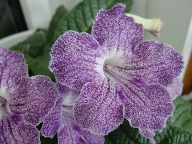 Мои цветочки - Страница 36 097c53d45c06