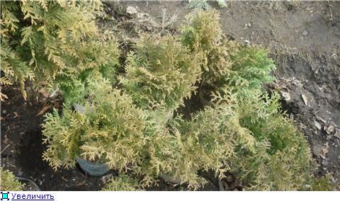 Хвойные растения E9103769a2a0t