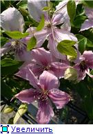 Цветущие лианы E31a70b85829t