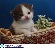 Британские котята. Окрас:  голубой, шоколадный биколор. 09c649c73d02t