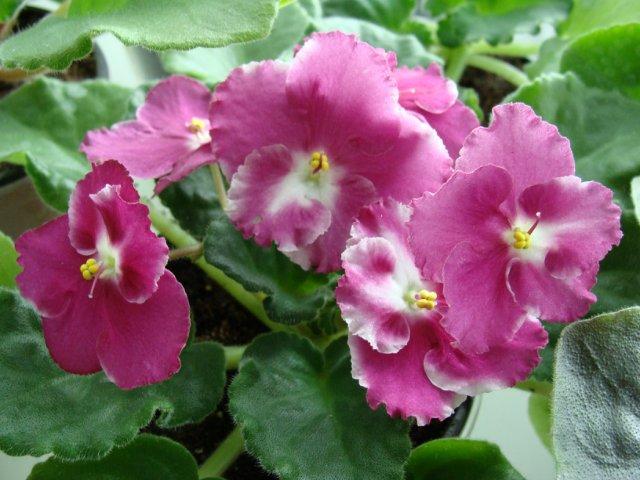 Мои цветочки - Страница 36 7470e2ea4606