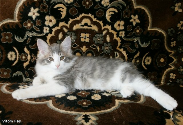 Котята Курильского бобтейла 758763d78e80