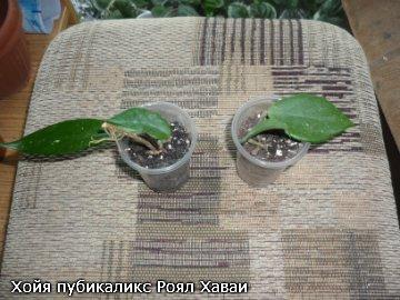 декоротивно-лиственные и красивоцветущие растения - Страница 3 D4b18baa873f