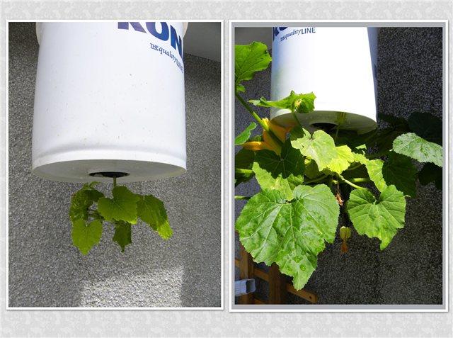 Технология выращивания помидоров (томатов) вниз головой D3594850afb3