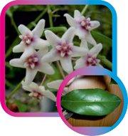 декоротивно-лиственные и красивоцветущие растения - Страница 3 53b2c1540745