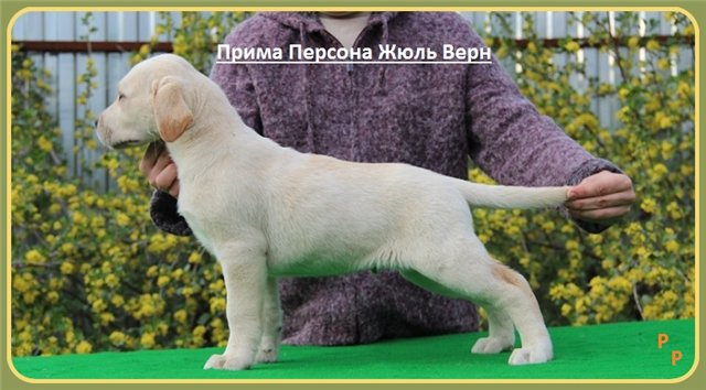 "Питомник ""Прима Персона"". Мои собаки-моя жизнь! - Страница 2 7e70451153b2"