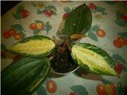 Hoya macrophylla 6d761ac0ea7ct