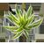 АГАВОВЫЕ (агавы, драцены, кордилины, нолины, сансевиерии, юкки)