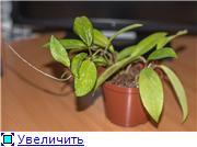 Hoya pubicalyx Cf9e093f1061t