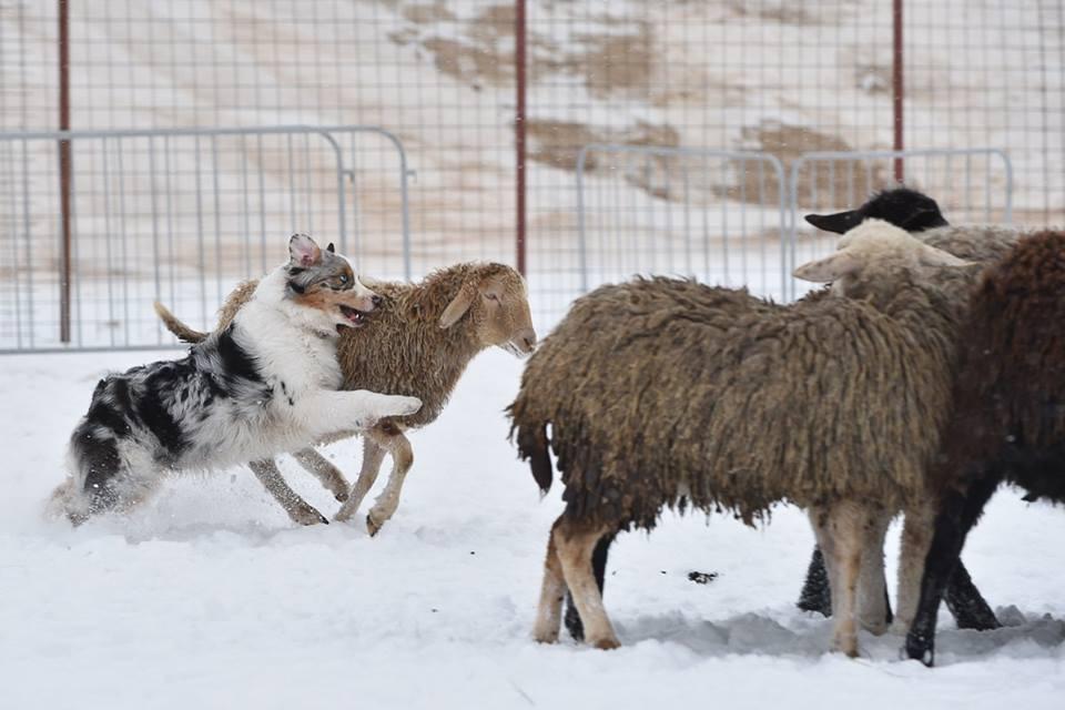 """Питомник австралийских овчарок """"Аве Динорнис"""" Питер C361f84ac2d0"""