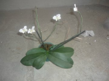 декоротивно-лиственные и красивоцветущие растения - Страница 4 B7b2618f55ff