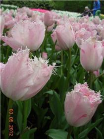 Рай тюльпанов или Кёкнхов - 2012 8c237eeedcc6t