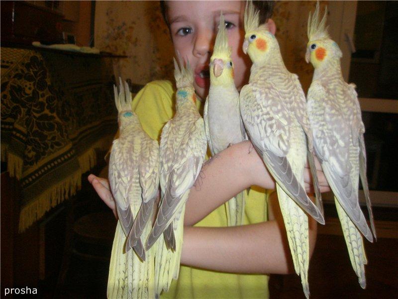 продам птенцов кореллы Украина, Харьков 1aa2858d73dd