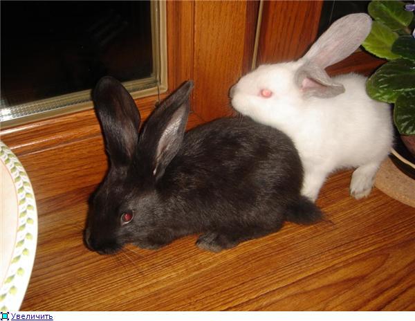 Кролики, декоративные и не очень) - Страница 3 2f0d7144c29bt