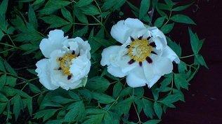 И мои хвастушки-цветушки! - Страница 36 E1cc3e5679cb