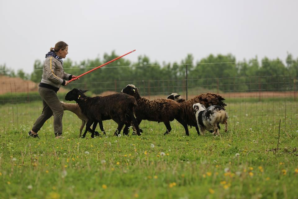 """Питомник австралийских овчарок """"Аве Динорнис"""" Питер 9b0f8bd85258"""