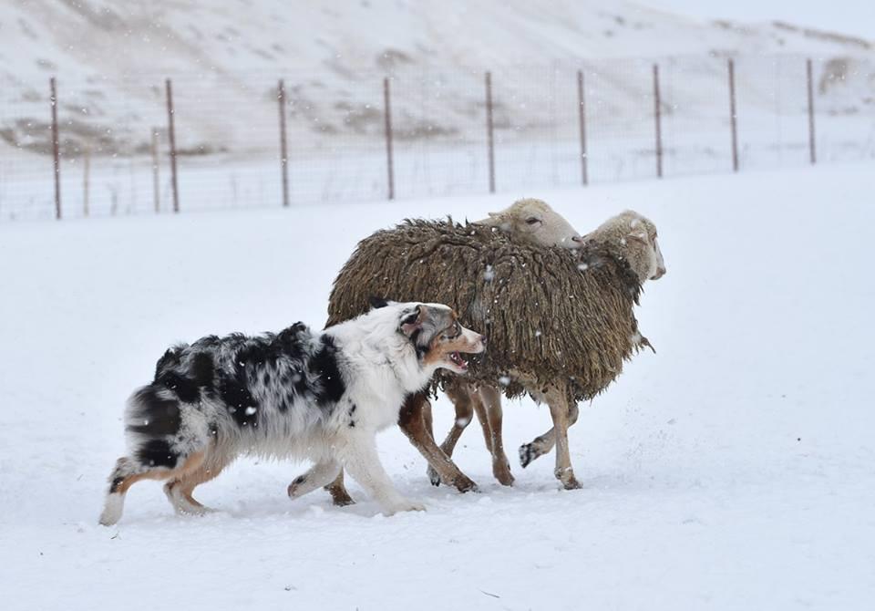 """Питомник австралийских овчарок """"Аве Динорнис"""" Питер F7cb873a0962"""
