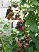 смородина и другая ягодка - Страница 4 F2b24d1287d9t