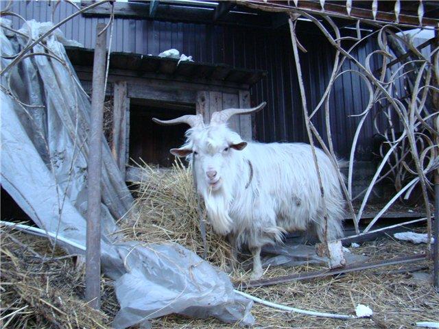 Козы, козлята и козлы)))))) - Страница 6 D562888cdc8e