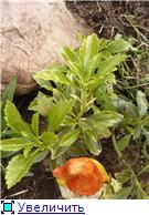 Помогите опознать растение. - Страница 2 Dc736e3b640et