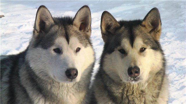 Аляскинские маламуты в Чите - Страница 2 078298b0b474