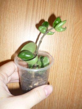 декоротивно-лиственные и красивоцветущие растения - Страница 3 0680a54eef56