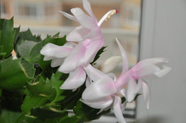 А что растет у нас на подоконнике ... цветы в доме. - Страница 20 Eedc636a8d9d