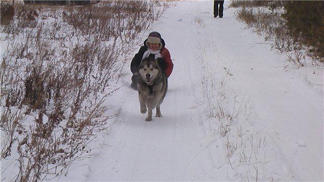 Аляскинские маламуты в Чите - Страница 2 Da3e3327e789
