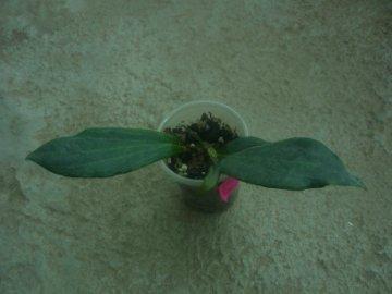 декоротивно-лиственные и красивоцветущие растения - Страница 4 6637c9e36a6b
