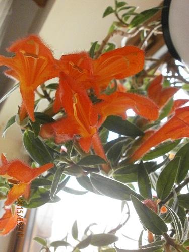Разводите ли дома цветы и какие? - Страница 34 5cad7202f271