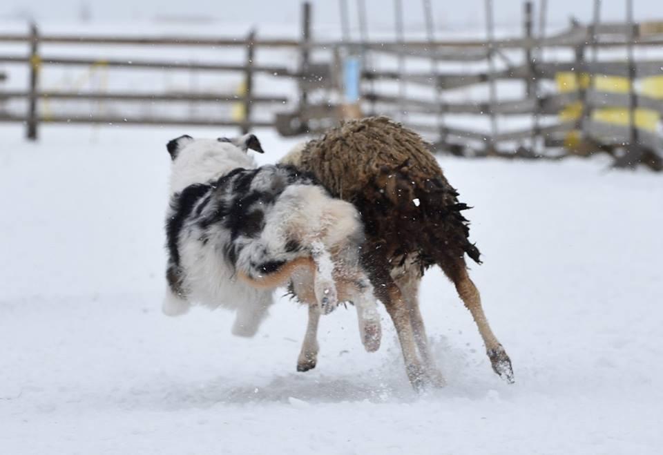 """Питомник австралийских овчарок """"Аве Динорнис"""" Питер Af4016f851cd"""