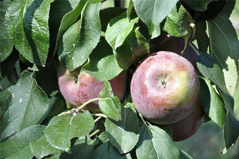 Яблоня: сорта и агротехника. - Страница 6 Bc0cfa00e835
