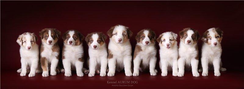 """Питомник """"Aurum Dog"""" - Страница 2 887ca38fd594"""