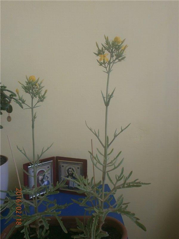 Які квіти прикрашають Ваші ґанки, підвіконня, балкони? Ee466fc25501
