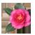 Камелия , семейство Theaceae — Чайные.